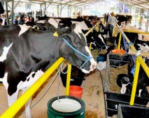 Exportación de leche boliviana bajó 35 %