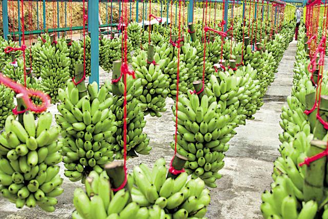 Presidente Cívico de Cochabamba destaca éxito de la compañía productora de banano del empresario Miguel Zambrana
