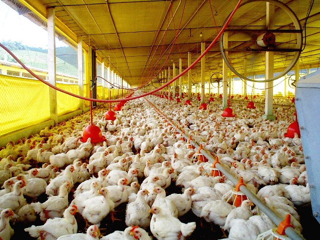 Avicultores en emergencia por precio mínimo del pollo