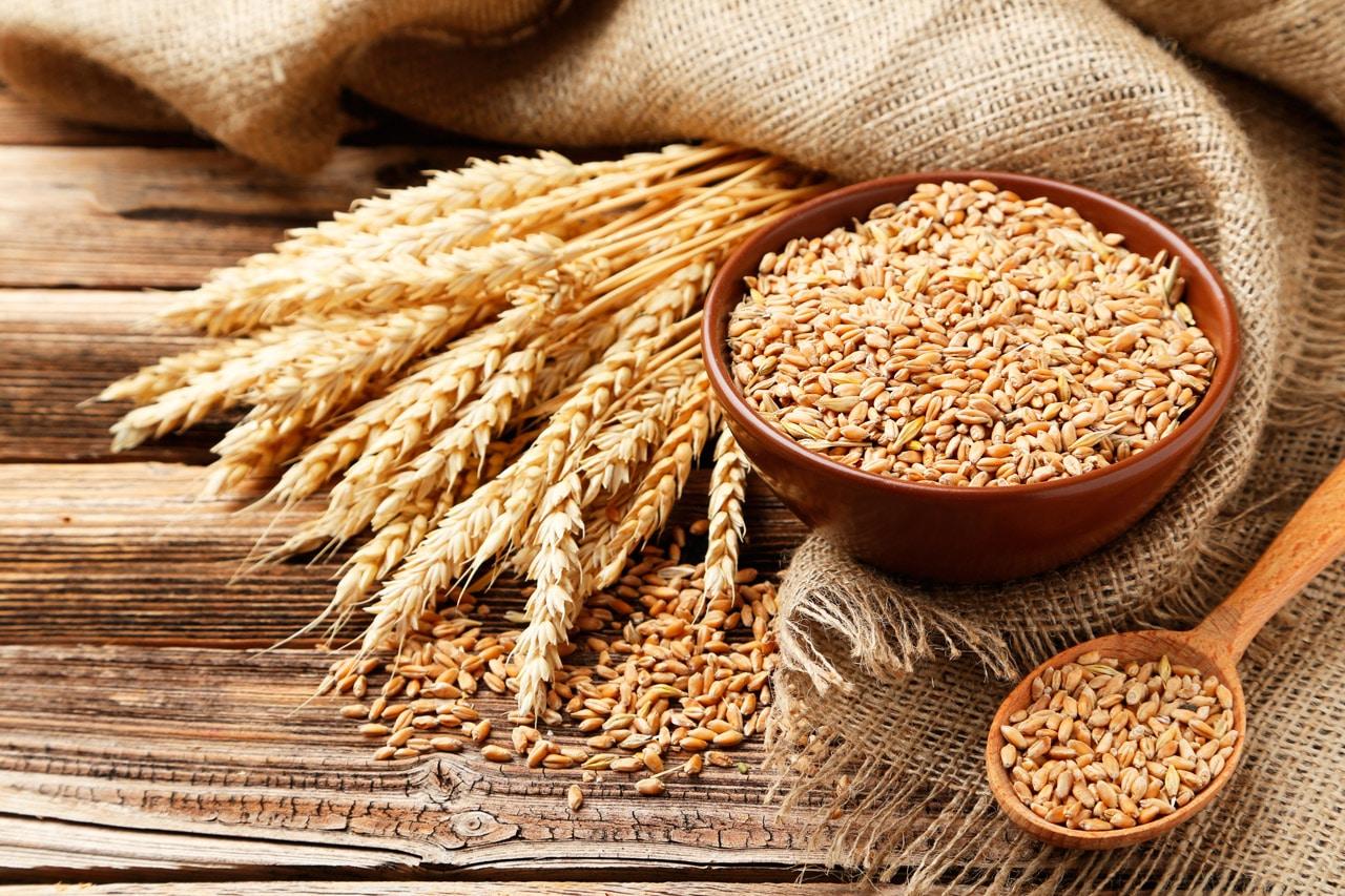 INIAF impulsa nuevas variedades de trigo para fortalecer a sector productivo