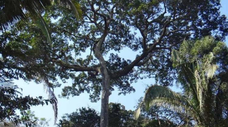 Aprovechamiento de la castaña genera reactivación económica y favorece a la conservación de los bosques
