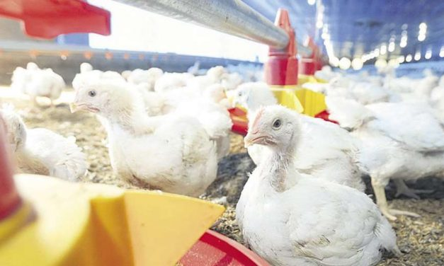 Altos precios de insumos impactan en la producción avícola, porcina y lechera