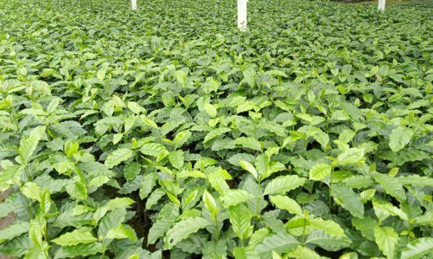 Entregan más de 4,5 millones de plantines de café de calidad para fortalecer su producción