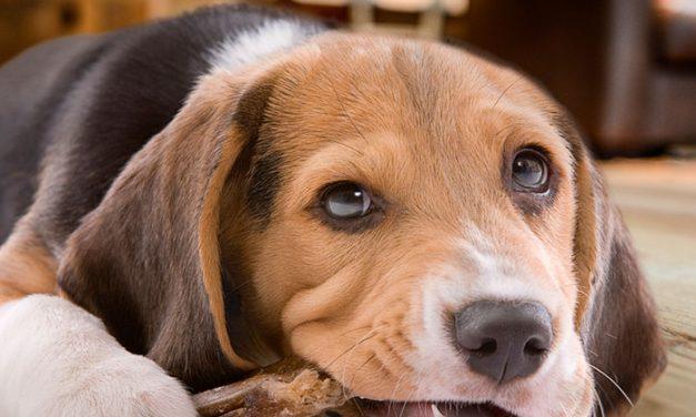 PODIUM lanza su línea de huesos ahumados para perros